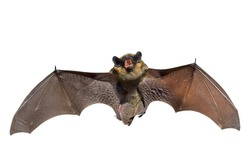 A close up of the small bat. Isolated on white.