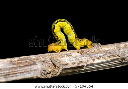 A close up of the spanworm (caterpillar of butterfly geometer) on rod. Isolated on black.