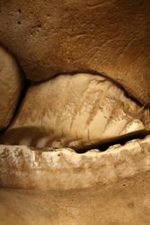 A close-up of the teeth of an Asian Elephant