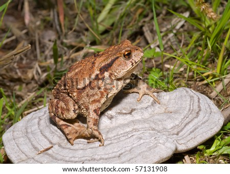 A close up of the toad (Bufo gargarizans) on mushroom (tinder).