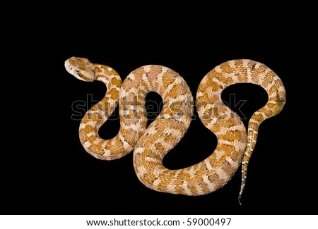 A close up of the venomous snake (Agkistrodon saxatilis). Isolated on black.