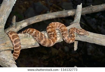 A close up of the venomous snake (Agkistrodon saxatilis) on dry tree.