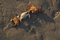 A close-up of three dead crabs on the beach