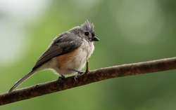 A close up of tufted Titmouse on a branch and room for text.