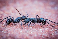 A Close Up of two Ants fighting.