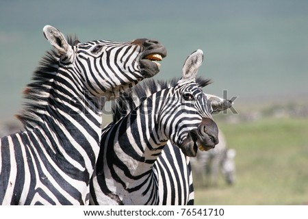 A close up of two fighting zebras