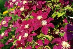 A close up of velvety crimson-purple clematis flowers of the 'Rouge Cardinal' variety (or 'Red Cardinal', late large-flowered group) in dew in the garden on a sunny morning