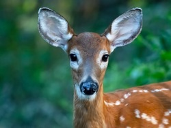 A Close Up of White-tailed Deer Fawn