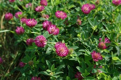 A close up of wild red clover on the meadow, copy space. Thickets of a purple-red flowers of zigzag clover (Trifolium medium) in the field on a sunny morning