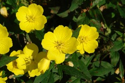A close up of yellow flowers of evening primrose (Oenothera biennis, evening star, sundrop, suncup) in the garden