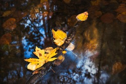 A close up of yellow leaves floating on water with reflections of trees and blue sky on an autumn day.
