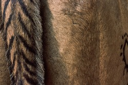 A close up on a camel's body part with the typical rajastani decorations on the tail and the marking on the flank of the animal. Pushkar camel fair, Rajasthan, India.