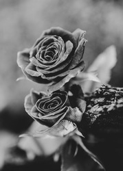 a close up on a delicate rose flowers covered, catching light, image in black and white and with bokeh effect in the background