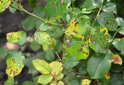A close up on a fungal rose disease black spot with infected yellow and green leaves which weakens the rose bush, and needs treatment.