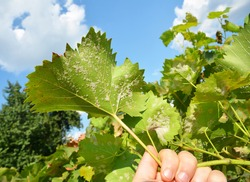 A close-up on a grapevine leaves infected with a powdery mildew, downy mildew, yellow spots which need treatment from fungal disease that can lead to a severe crop loss of grapes.