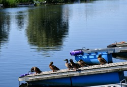 A close up on a large family of ducks and drakes resting on a wooden pier or platform floating in the water next to a coast covered with shrubs and other kinds of flora seen on a sunny summer day