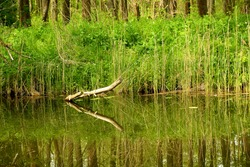 A close up on a small broken down stick or branch reflecting in the surface of the river or lake seen next to the coast covered completely with reeds, shrubs and other flora spotted in spring