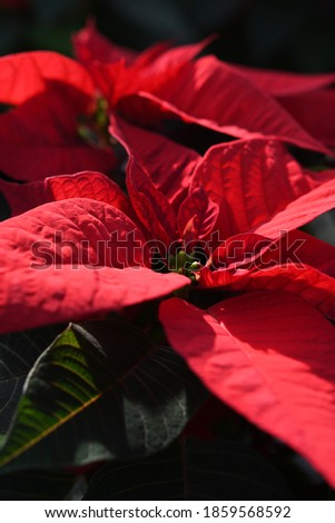 A close up on red poinsettia plant,  in greenhouse, beautiful shot full of detail f the colorful leaves Zdjęcia stock ©
