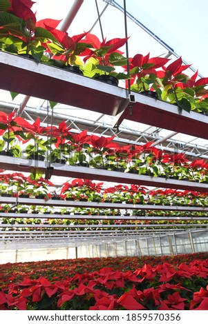 A close up on thousands of red poinsettia plants growing in rows on the racks in the air in spacious greenhouse, beautiful shot full of detail Zdjęcia stock ©