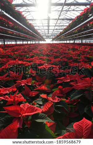 A close up on thousands of red poinsettia plants in spacious greenhouse, beautiful shot full of detail and with sun rays creating little dreamy distortion Zdjęcia stock ©