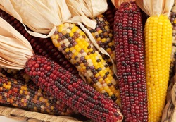 A Close up or Cheerful and Colorful dried Indian Corn in a basket as decoration for Thanksgiving Table, Halloween, and the Fall Season