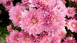 A close up photo of a bunch of dark pink chrysanthemum flowers with yellow centers and white tips on their petals. Chrysanthemum pattern in flowers park. Cluster of pink purple chrysanthemum flowers.