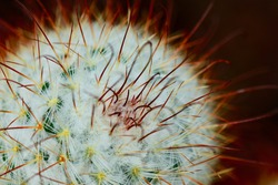 A close-up photo of a cactus plant (Cactaceae family). Selective focus, fine details of the leafless, spiny stem.
