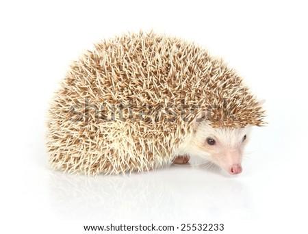 a close up photo of a hedgehog