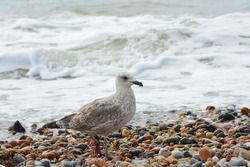 A close up photo of a juvenile/young Herring Gull with first winter plumage holding some twigs in the beak on the pebble beach  near Brighton Palace Pier.