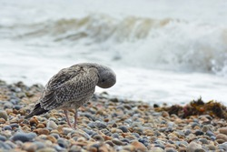 A close up photo of a juvenile/young Herring Gull with first winter plumage on the pebble beach preening  its feathers with its beak near Brighton Palace Pier.