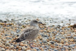 A close up photo of a juvenile/young Herring Gull with first winter plumage on the pebble beach  near Brighton Palace Pier.