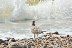 A close up photo of a juvenile/young Herring Gull with first winter plumage on the pebble beach  facing the waves