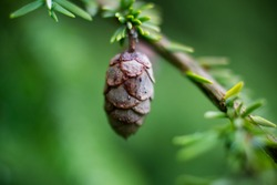 A close up photo of a small pine cone on a rainy day