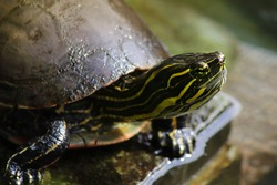 A close-up photo of a turtle. This is a pet turtle made in a backyard. A very nicely detailed photo of his neck, leg and head.