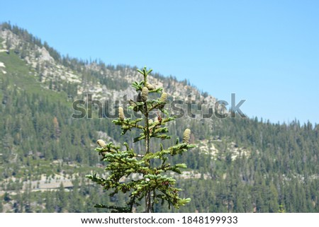A close up photo of Abies magnifica cones (the red fir or silvertip fir). Blurry background of park's mountain landscape.  Zdjęcia stock ©