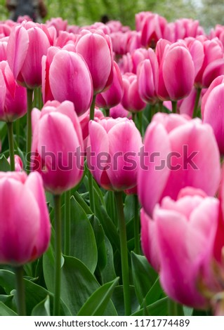 A close-up photo of beautiful pink tulips from Holland fields. Perfect picture for the International Women's Day.