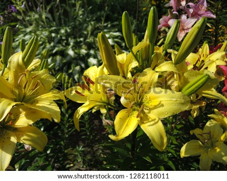 A close-up photo of flowering yellow lilies with drops of dew in the summer. The picture is suitable for greeting cards for holidays (March 8, February 14, birthday) and desktop background.