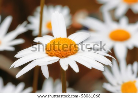 A close-up photo of Marguerite - daisies