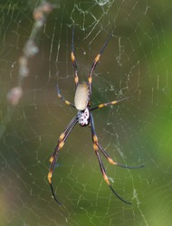 A close-up photograph of a female Golden Orb Weaving Spider (Nephila plumipes or Nephila edulis) in her web in Brisbane, Australia.
