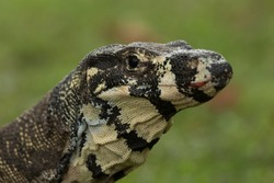 A close up photograph of a lace monitor or lace goanna. It is a member of the monitor lizard family, Australian members of which are commonly known as goannas. It belongs to the subgenus Varanus.