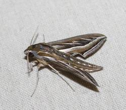 A close-up photograph of a Vine Hawk Moth(Hippotion celerio) also known as Grapevine Hawk-Moth and Silver-striped Hawk-Moth.