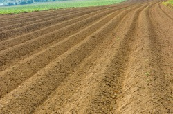A close up photography of prepared potato field with aligned seadbeds meeting in the distance