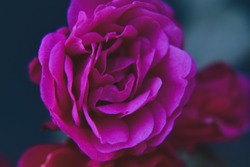 A close up photography pink Rose,Roses flower petals blooming in the garden cute macro roses flower stock photo.