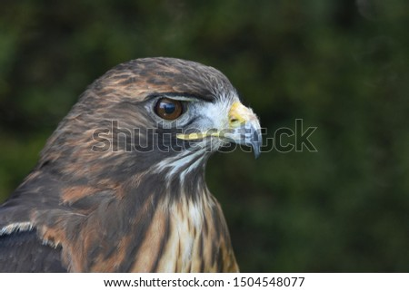 A close up picture of a hawk