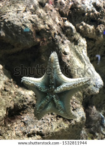 A close up picture of a pale starfish (Seastar) in a marine aquarium as it sticks to the glass with his tube feet.