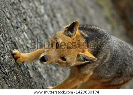 A close up portait picture. The Culpeo, also known as Wolf or Patagonian Fox, is a South American species of wild dog. This one is seen close to Perito Moreno Glaciar in Patagonia Argentina.