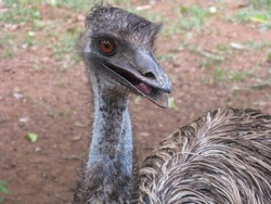 A close up portrait of a bird with long legs and neck called Emo in a zoo