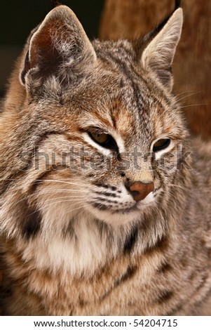 A close-up portrait of a bobcat (lynx rufus).