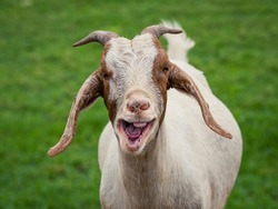 A close up portrait of a goat in farm pasture.