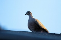 A close up portrait of a pidgeon sitting on a roof with the sun shining on one of its wings. The bird is looking around and ready to fly as soon as something approaches.